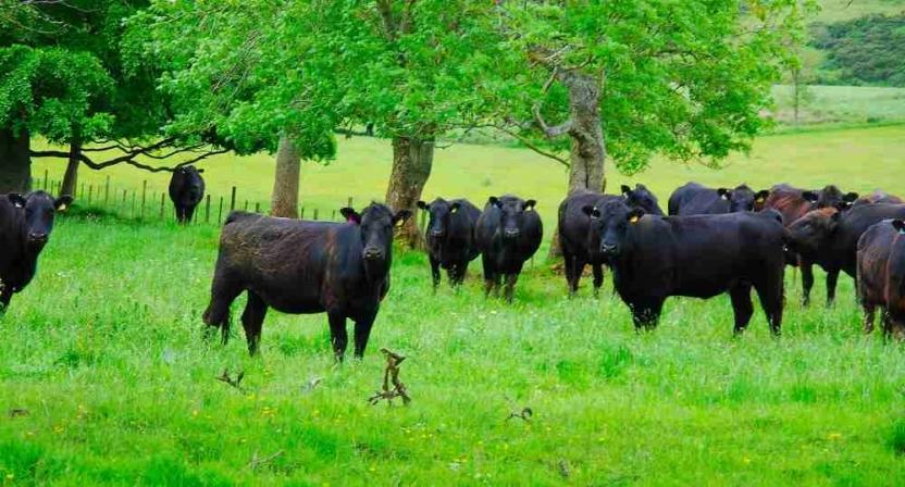 Aberdeen Angus Cows