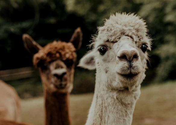 A llama and an alpaca