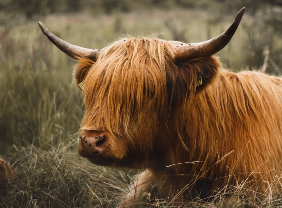 A Highland Cow or maybe a small Bull?