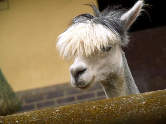 A llama in need of a hair cut?