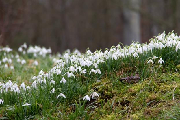 Snowdrops love woodland areas