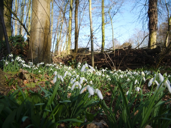 Snowdrops were seen as purifying