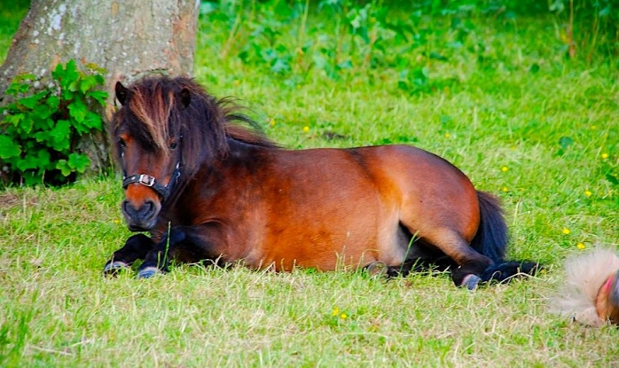 One of our Shetland ponies resting in Borders scenery...