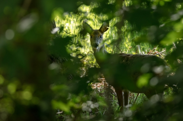 Have a peek at a deer