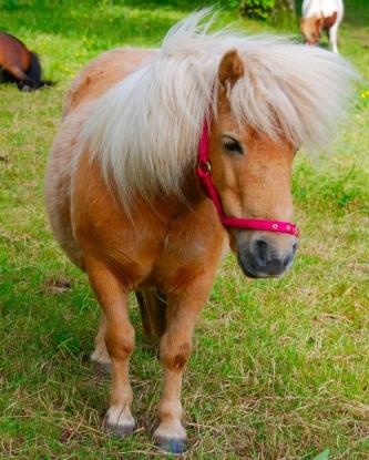 Waffle, our gorgeous Shetland pony