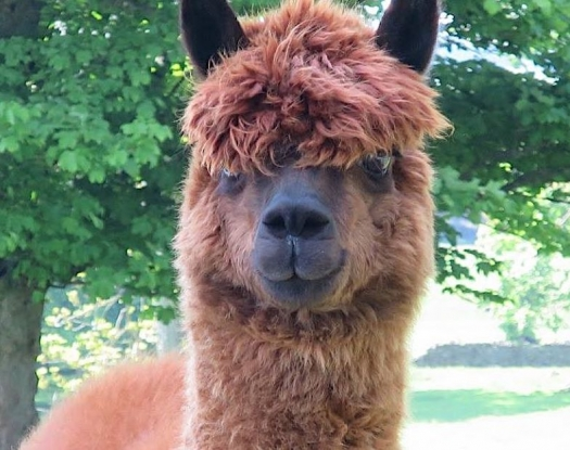 Our alpacas want to say hello...