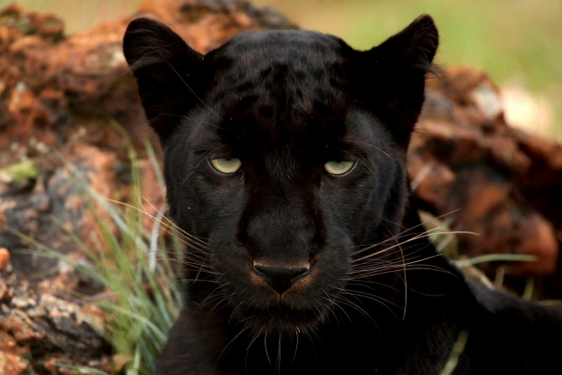 Did a panther once prowl around Cardrona?