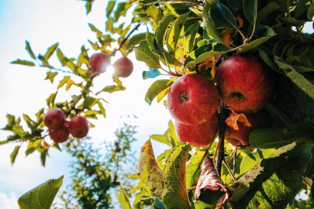 Apple Days at Melrose
